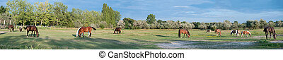 Panorama of a Paddock with grazing Horses, taken in Lower...