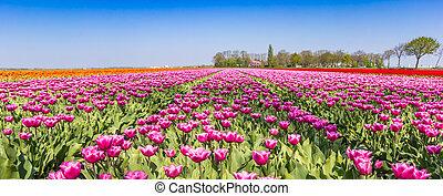 Panorama of a purple tulips field in Noordoostpolder