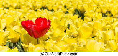 Panorama of a single red tulip amongst yellow tulips in the netherlands