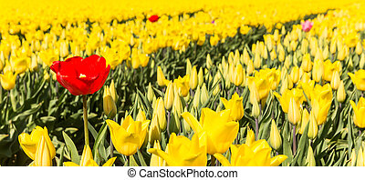 Panorama of a single red tulip in a field of yellow tulips