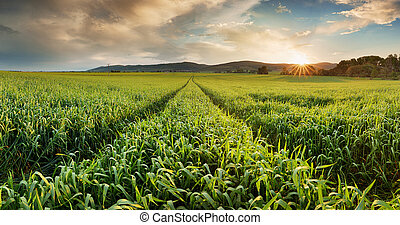 Panorama of a wheat field landscape with path