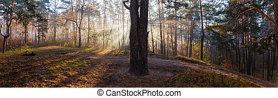 Panorama of autumn forest with sun beams in foggy morning