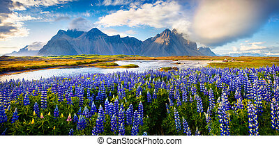 Panorama of Blooming lupine flowers on the Stokksnes...
