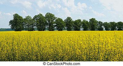 panorama of blooming rape field