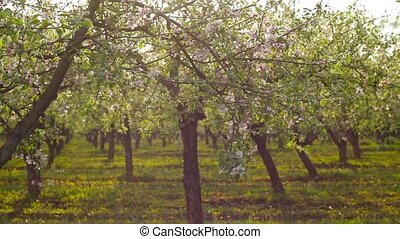 panorama of blossoming apple orchar