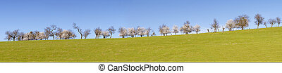panorama of blossoming trees