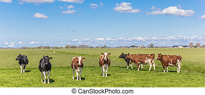 Panorama of cows in the dutch landscape