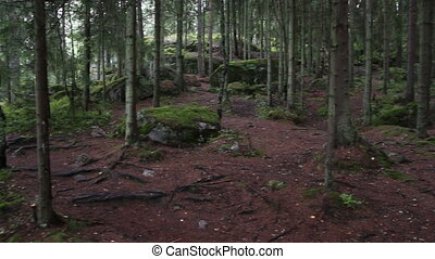 panorama of dark forest - mossy trees on rocks