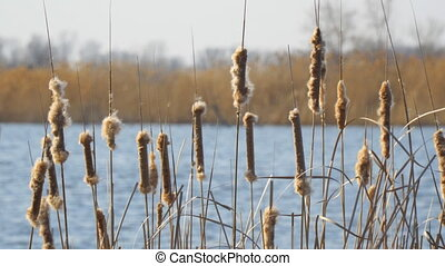 Panorama of dry cattail Buds swaying in the wind against the blue water of the lake. Marsh grass