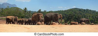 Panorama of elephant family herd at Pinnawala, Sri Lanka, Asia
