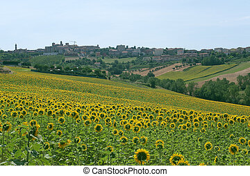 Panorama of Filottrano(Ancona, Marches, Italy) and sunflowers' field