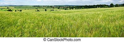 Panorama of green grain field