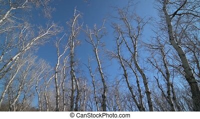 Panorama of high sections of trees - Wide panorama shot of ...