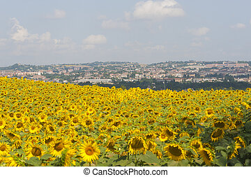 Panorama of Jesi (Ancona, Marches, Italy) and sunflowers' field