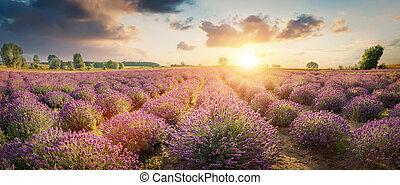 Panorama of lavender flower field in full bloom, dramatic sunset sky.