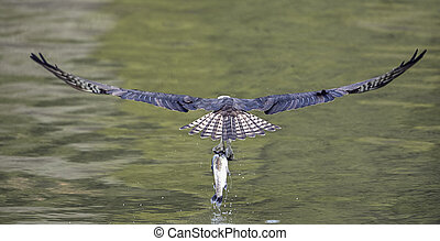 Panorama of Osprey catching a fish.