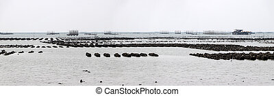Panorama of oyster farm on the mud at the mangrove swamp.