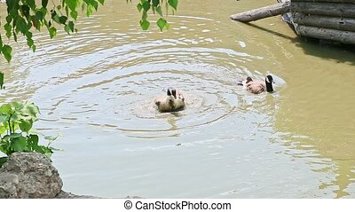 panorama of pair wild adult ducks bathing and clean feathers...