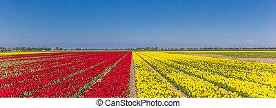 Panorama of red and yellow tulips field in Noordoostpolder