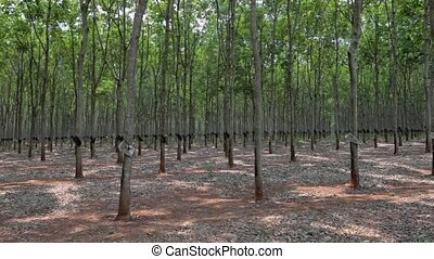 panorama of rubber plantations in Vietnam. Vietnam -...