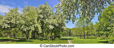 Panorama of spring city park with blooming apple trees