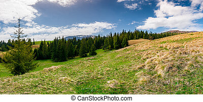 panorama of spruce forest on a mountain hill side - panorama...