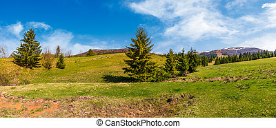 panorama of spruce forest on grassy hills. beautiful...
