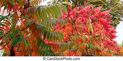 Panorama of sumac branches with bright varicolored autumn leaves