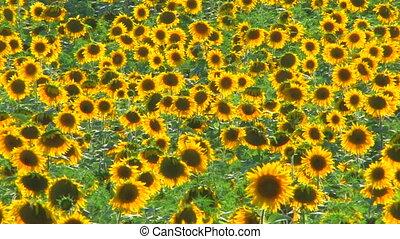 Panorama of Sunflower field