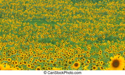Panorama of Sunflower landscape