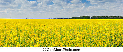 Panorama of the blooming rapeseed field
