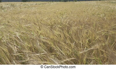 Panorama of the field of a ripe rye in summer sunny day,...