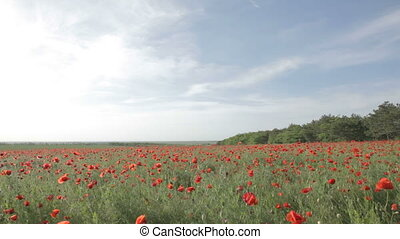 Panorama of the field, strewn with poppies