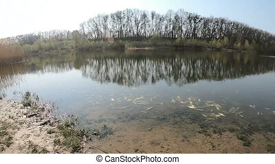 Panorama of the lake shore with dead fish. The concept of ecological disaster. Video clip, slow motion