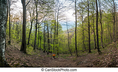 Panorama of the spring forest with young green leaves, a man in orange clothes descends along the trail.