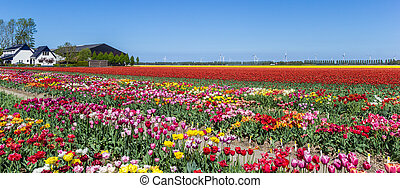 Panorama of vibrant colorful tulip flowers in Flevoland, The Netherlands