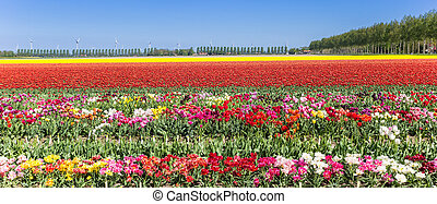 Panorama of vibrant colorful tulip flowers in Flevoland
