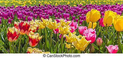 Panorama of vibrant colorful tulips in Flevoland, The Netherlands