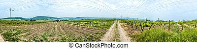panorama of vineyard in spring time