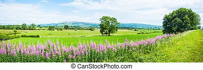 Panorama of Willowherb and fields on a summer day