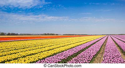 Panorama of yellow and pink tulips in a field in Noordoostpolder