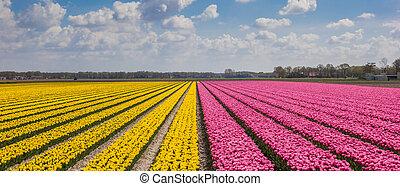 Panorama of yellow and purple tulips