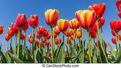 Panorama of yellow and red tulips against a blue sky in springtime