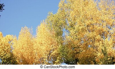 Panorama of yellow trees in a forest.