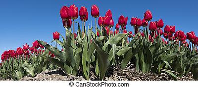 red tulips in field under blue sky