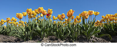 yellow tulips in field under blue sky