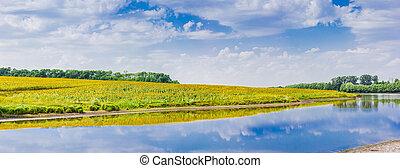panorama, rivière, tournesols, banque, champ