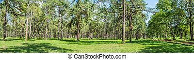 panorama shot of pine forest.