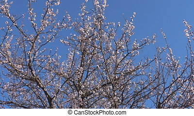 Panorama, spring, beautiful blooming apricot tree in garden....