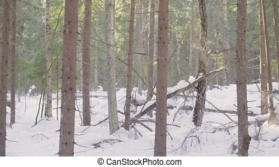 Spruce forest in winter - Panorama. Spruce forest in winter
